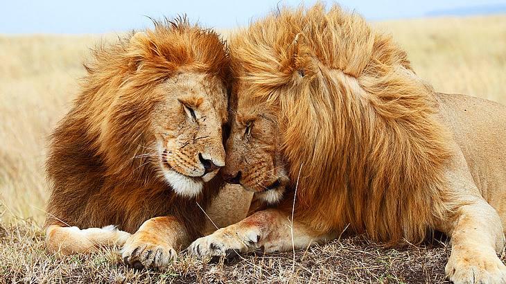 Löwen – die Könige der Savanne