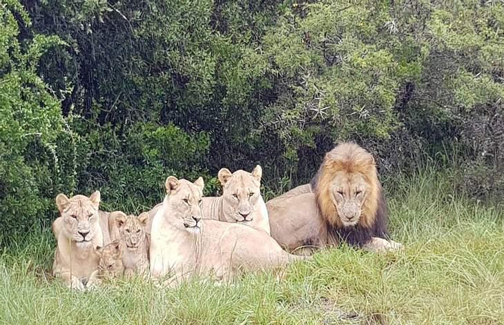 Dieses Löwenrudel hat mehrere Wilderer verspeist