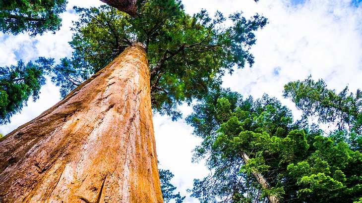 Deshalb ist der Standort des höchsten Baumes der Welt geheim