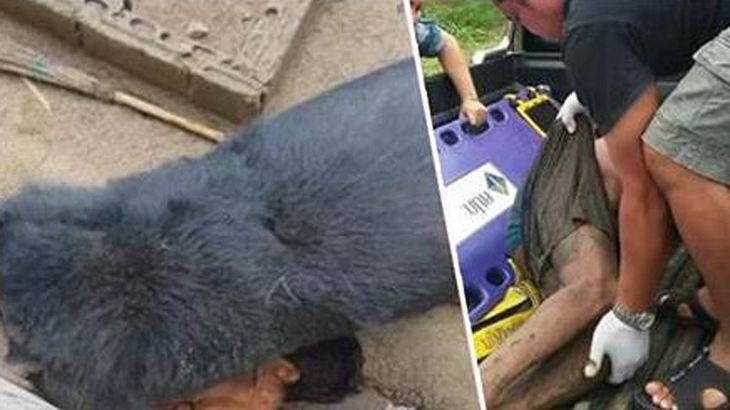 In Thailand: Ein Bär hat in Asien einen Mann zerfleischt