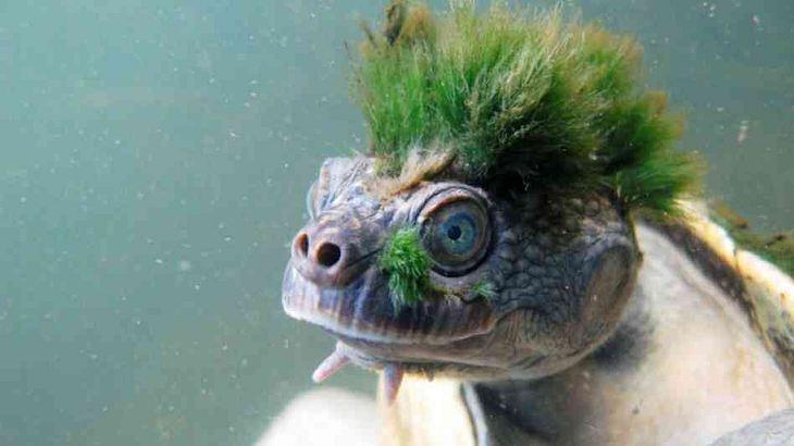 Auf der roten Liste: Schildkröten-Punk atmet mit den Genitalien