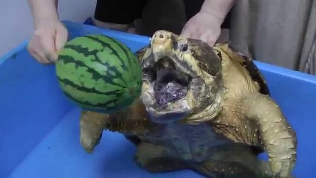Schildkröte zerfetzt Melone per brutaler Kieferramme