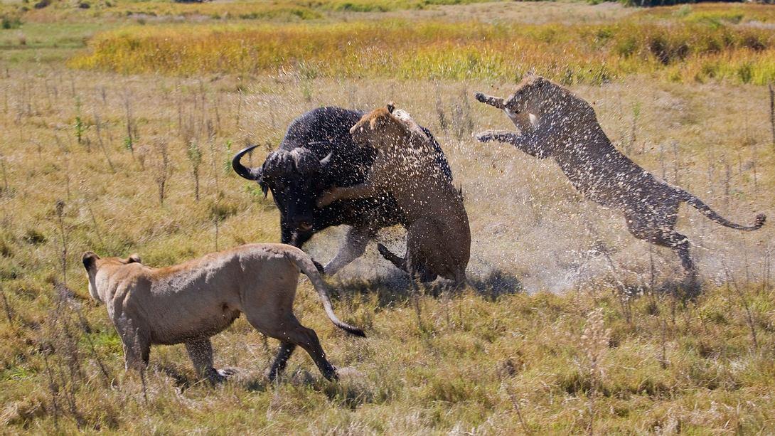 Mit letzter Kraft: Blutiger Kampf zwischen Löwen und Bullen nimmt überraschende Wendung