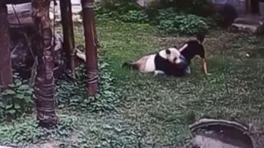 Ein Panda attackiert einen chinesischen Mann in seinem Zoo-Gehege