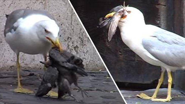 Eine Möwe frisst eine Taube in Rom. Touristen filmen mit