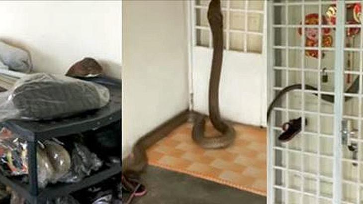 XXL-Kobra: Eine Monster-Giftschlange schlängelt sich in ein Appartement in Malyasia