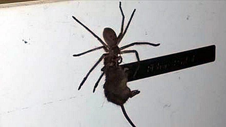 Hier fängt eine australische Monster-Spinne eine Maus