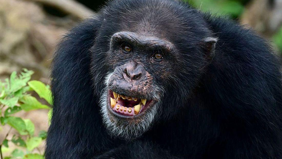 Aggressive Schimpansen auf Monkey Island (Symbolfoto).