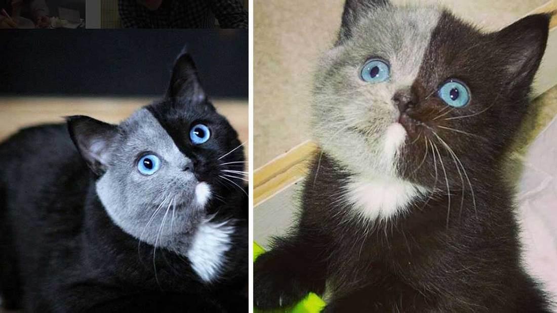 Schwerste Katze Der Welt