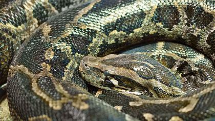 Die längste Schlange der Welt