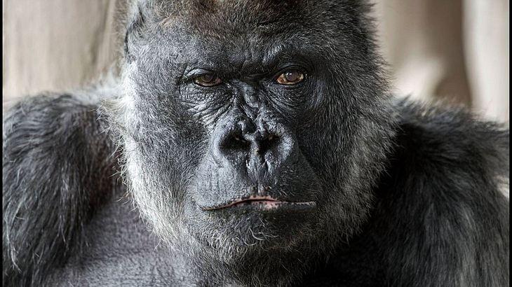 Silberrücken Gorilla Nico