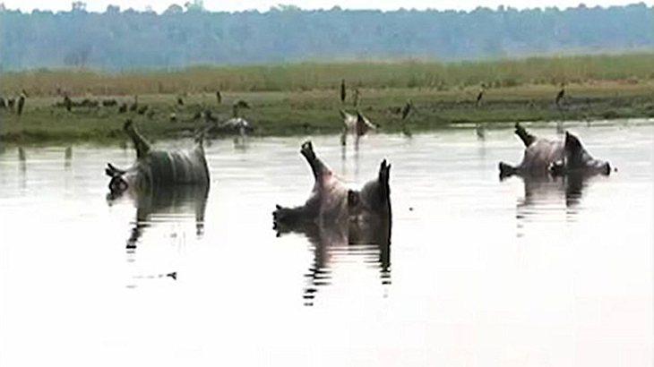 Namibia: Mehr als 100 Nilpferde an Milzbrand gestorben