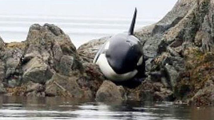 Kanadische Tierfreunde retten einen gestrandeten Orca vor dem Tod