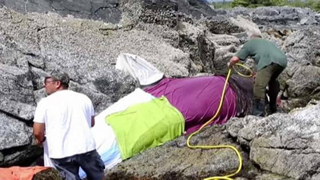 Eine Gruppe Freiwilliger hat einen gestrandeten Orca vor dem Tod gerettet