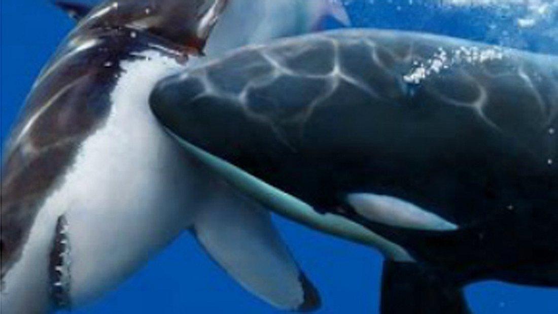 Drone filmt tödliche Jagd: Killer Wal versus Hai