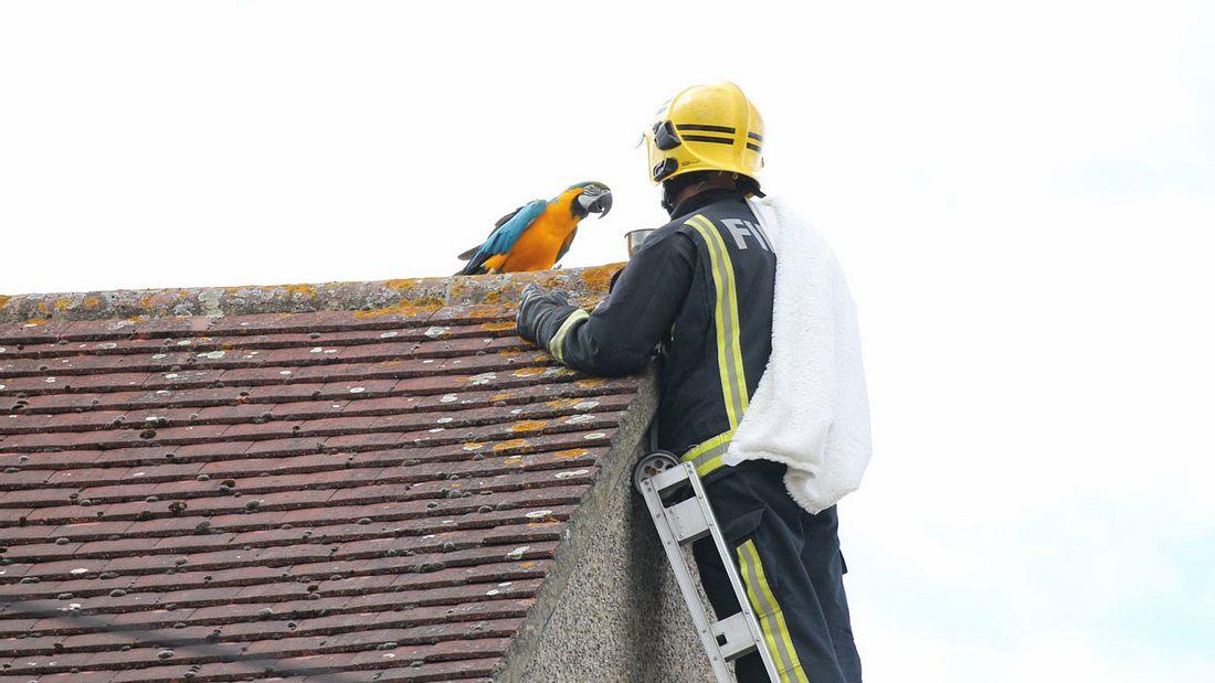 Papagei Jessie will sich nicht retten lassen