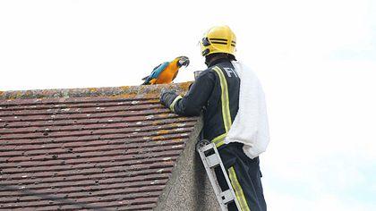 Papagei Jessie will sich nicht retten lassen - Foto: Twitter / Paul Wood