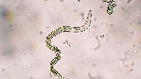 Diese gefährlichen Parasiten breiten sich schnell aus