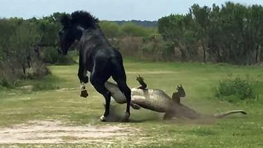 Tierisches Duell: Schwarzer Hengst vs. Riesen-Alligator