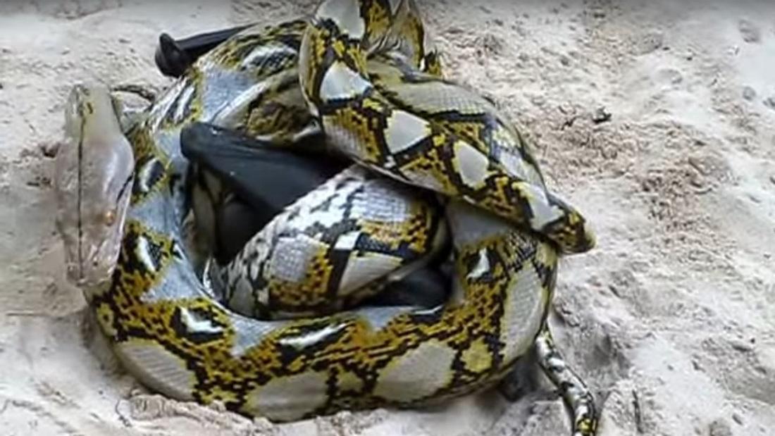 Todes-Battle: Fledermaus versus Python