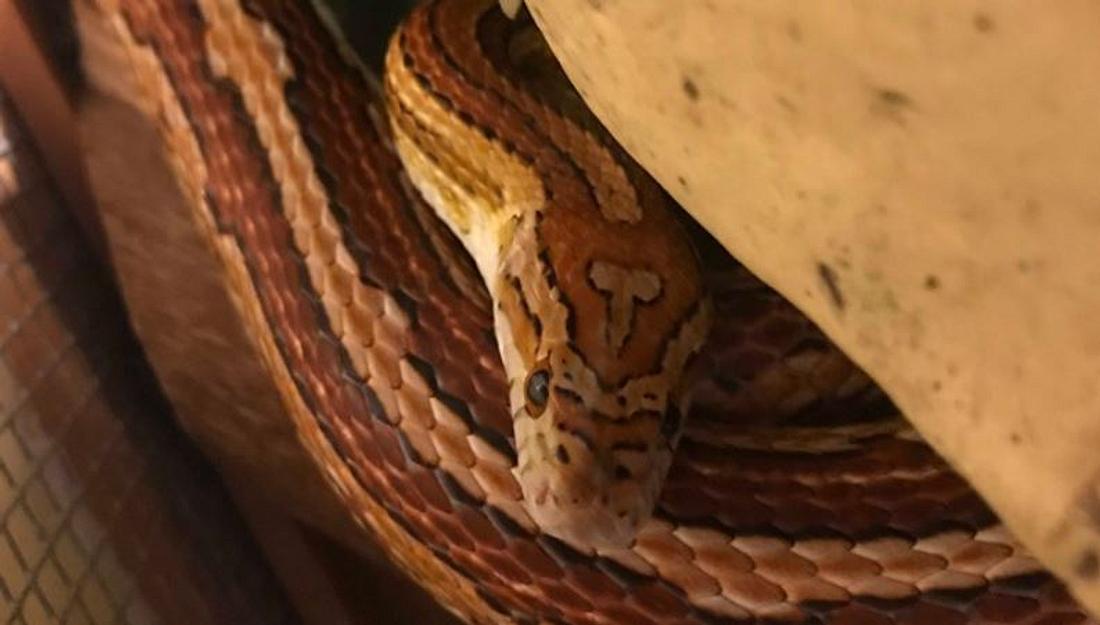 Schlange mit Musterung am Kopf, die wie ein Penis aussieht