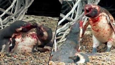 Nicht ungewöhnlich: Blutige Kämpfe zwischen Pinguinen - Foto: Screenshot Twitter / National Geographic