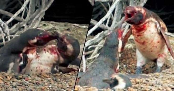 Nicht ungewöhnlich: Blutige Kämpfe zwischen Pinguinen
