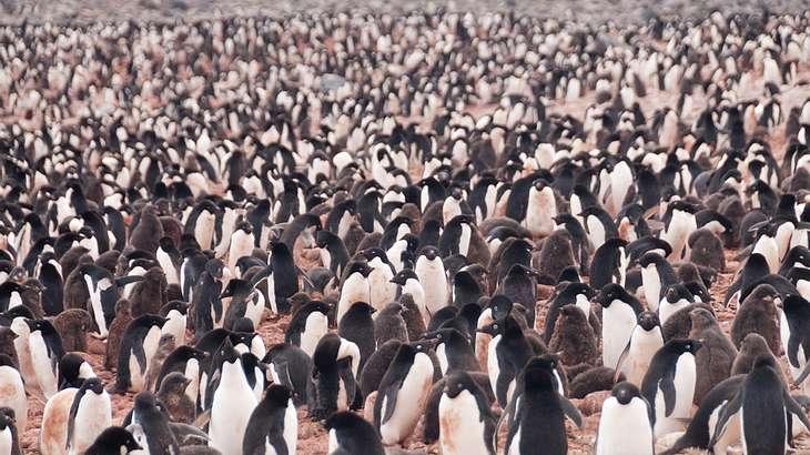 Tragödie: 18.000 Pinguin-Küken in der Antarktis verhungert