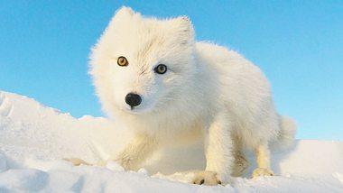 Polarfuchs sorgt weltweit für Begeisterungsstürme