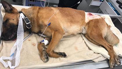 Polizeihund wirft sich in Kugel, um seinen Partner zu retten