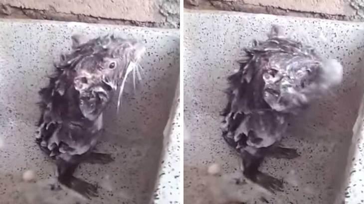 Duschende Ratte