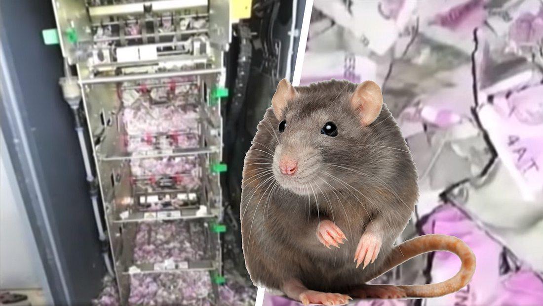 Ratten brechen in Geldautomaten ein