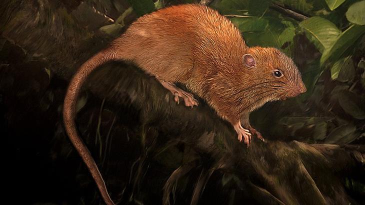 Uromys vika: Forscher haben auf den Salomonen eine Riesenratte entdeckt