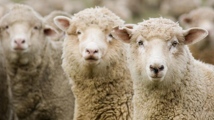 Bekiffte Schafe: Eine Herde in Wals fraß eine verlassene Plantage leer