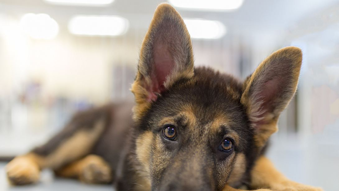 Hundebesitzer begraben Schäferhund bei lebendigem Leib