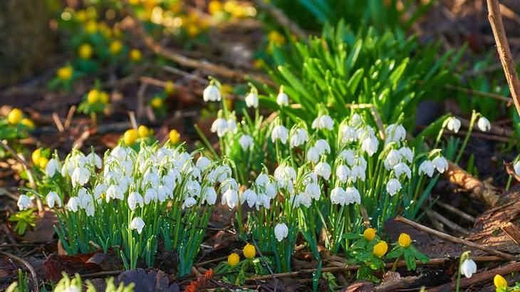 Schneeklöckchen gehören zu den ersten Blumen wenn der Schnee geht