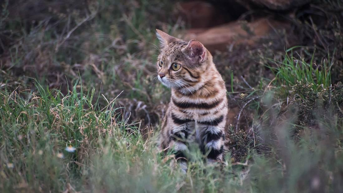 Süß, aber gefährlich: Das ist die tödlichste Katze der Welt