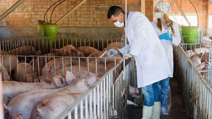 Deutsche Bauern warnen vor neuer Schweine-Pest