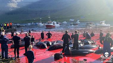 Delfine Färöer Inseln  - Foto: Sea Shepherd UK