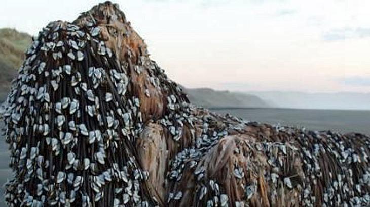 In Neuseeland wurde eine mysteriöse Krebs-Kreatur an den Strand gespült