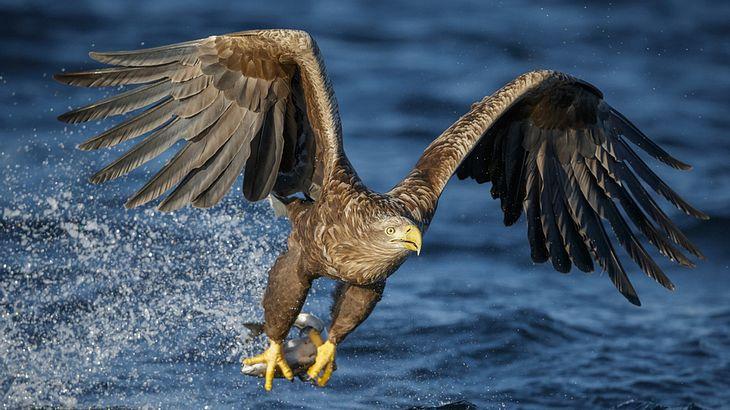 Naturschutzverbände melden die Rückkehr des Seeadlers, dem großten Vertreter seiner Gattung, nach Deutschland