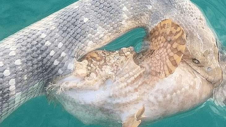 Hier kämpft eine Seeschlange gegen einen Steinfisch
