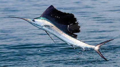 Segel- oder Fächerfisch - Foto: iStock/dtpearson
