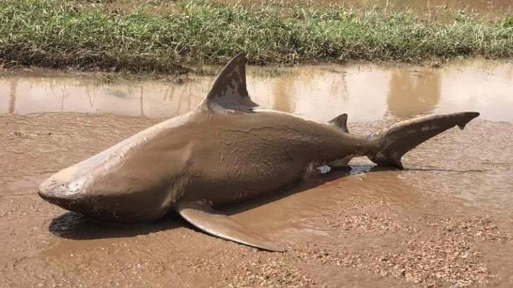 Sharknado: Ein Bullenhai wurde in Australien von Wirbelsturm Debbie an Land getrieben