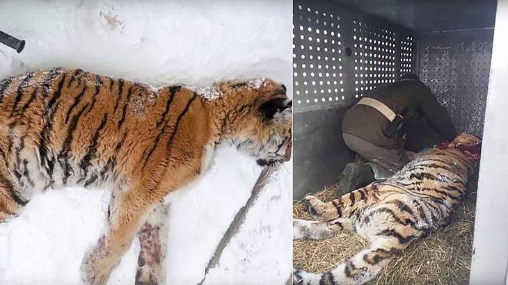 Zahnschmerzen: Sibirischer Tiger sucht Hilfe bei Menschen