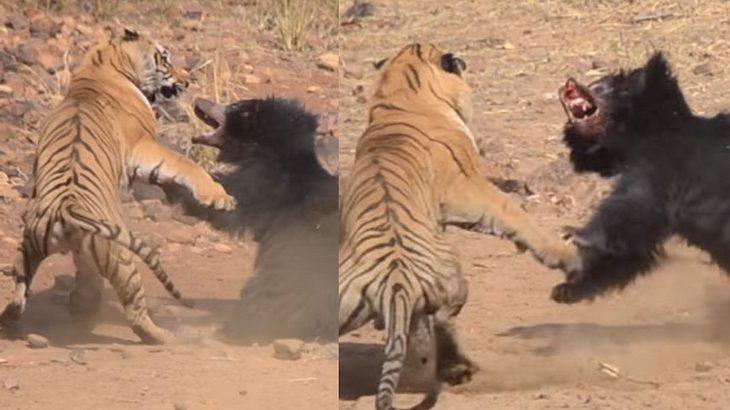 Kampf Auf Leben Und Tod Tiger Trifft In Freier Wildbahn Auf Bär