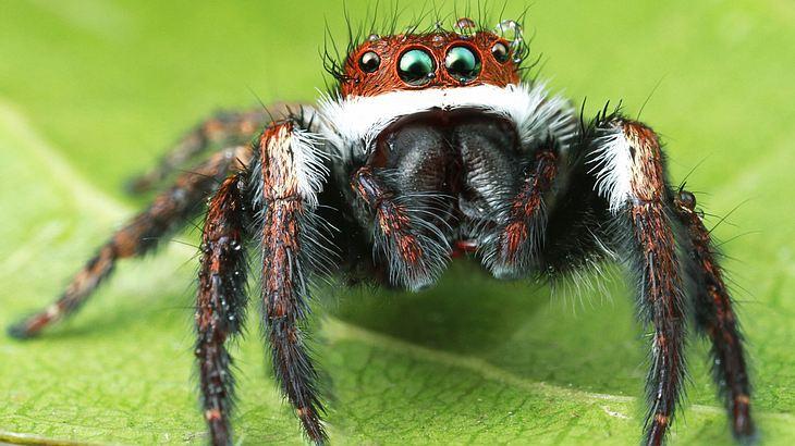 Spinnen könnten in einem Jahr die Menschheit auffressen