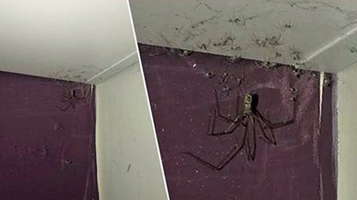 Spinne statt Hausstaub: Schockierende Entdeckung in US-Wohnung