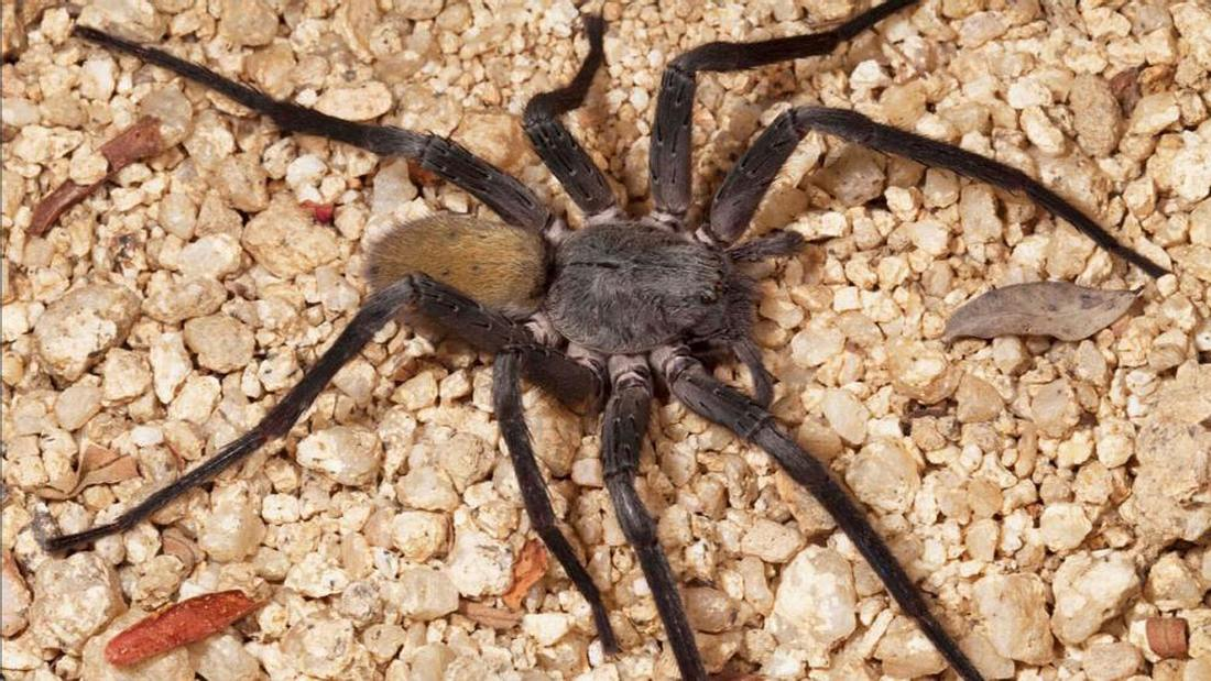 Neue Spinnenart entdeckt: Califorctenus Cacachilensis