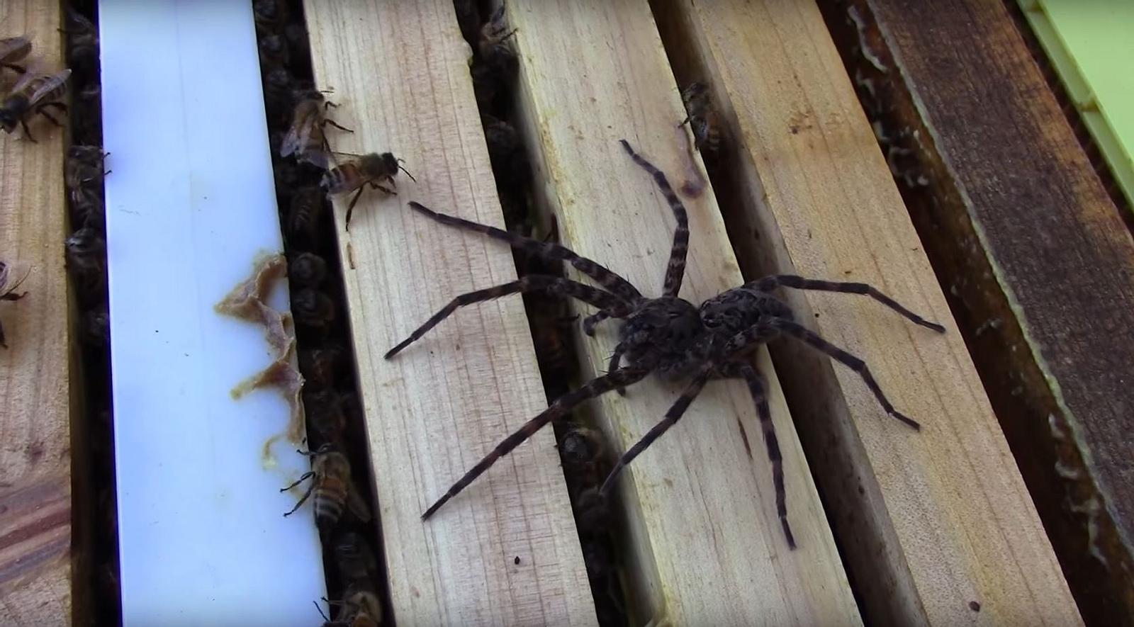 Tödliches Battle auf Video: 100 Honigbienen vs. Raubspinne
